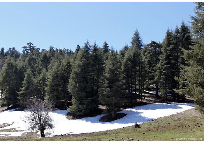 marrocos_cedar-forest